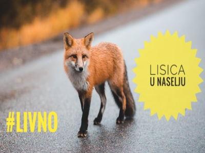 VIDEO: Lisica u bezbrižnoj šetnji po Brni (Livno)